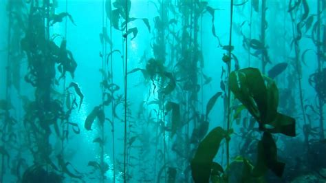 Kelp Song kelp forest bay
