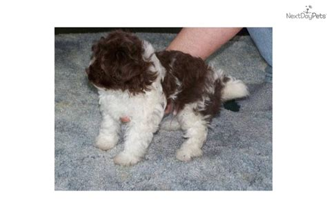 yorkie poo puppies houston teacup yorkie poos for sale breeds picture