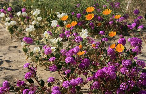 borrego desert flowers borrego springs desert wildflowers san diego travel blog