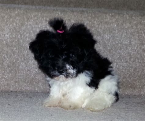 black and yorkie black and white yorkie coulsdon surrey pets4homes