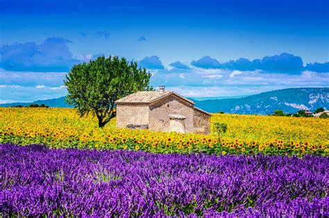 wann blüht der lavendel in frankreich duftende lavendelfelder in der provence urlaubsguru de