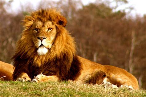 Pola Kulit Macan Harimau harimau vs singa siapa yang jadi juaranya sekarang aku