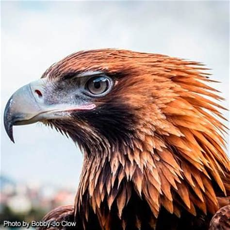 tattoo wedge tail eagle best 25 wedge tailed eagle ideas on pinterest