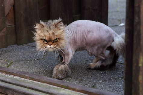 Shaved Cat Meme - shaved cat 2 171 why evolution is true