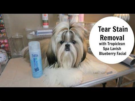 shih tzu tear stains removal 1000 bilder zu shih tzu auf gebeizt haustiere und welpen