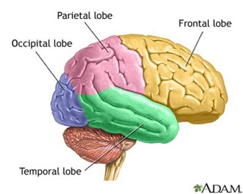 What Are The Four Sections Of The Brain psychlopedia central nervous system