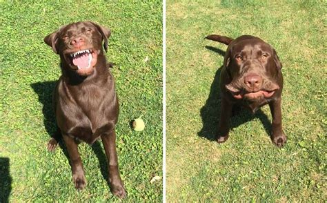 dogs sneezing 12 pictures only labrador owners will think are