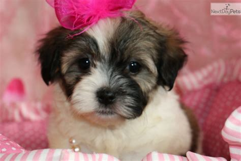 shih tzu puppies for sale near me shih tzu puppy for sale near joplin missouri 26710b22 e9a1