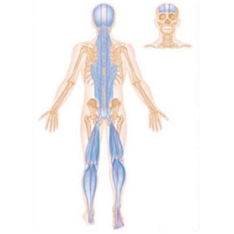 cadenas musculares espiral modest terapias anatomy trains t 233 cnico superior en