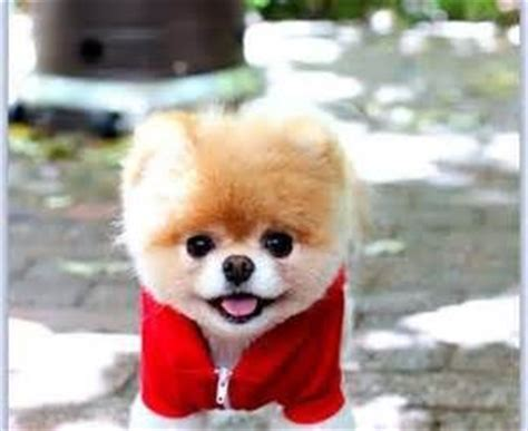 sad pomeranian sad boo the pomeranian victim of cruel hoax precious boo