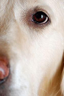 golden retriever sudden causes horner s in dogs vca animal hospital