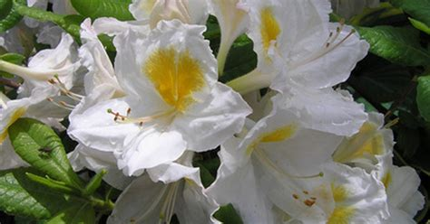 how to transplant rhododendron bushes ehow uk