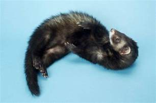 60 cute and funny ferret names pethelpful
