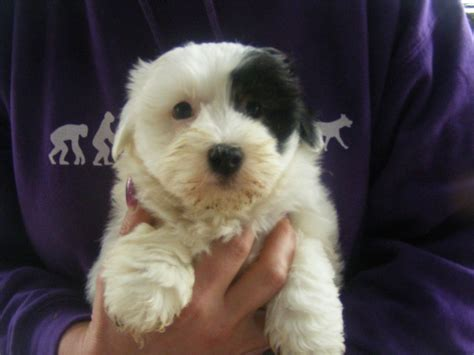 coton de tulear puppies for adoption coton de tulear puppy for sale breeds picture