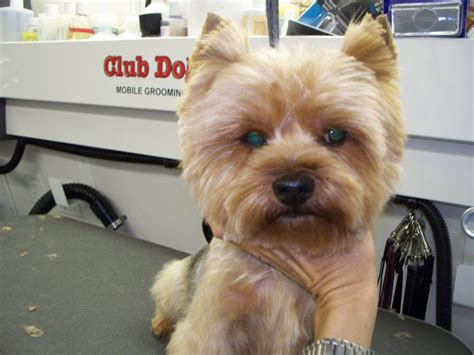 lion cut on a yorkie yorkie lion haircut the best lion in 2018