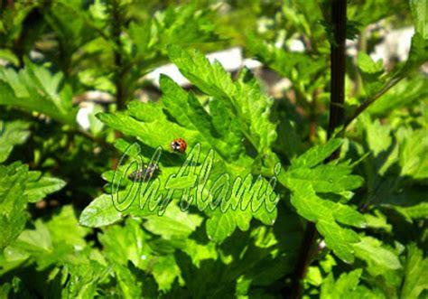 Obat Wasir Herbal Cina obat alami untuk mengobati wasir dari tumbuhan baru cina