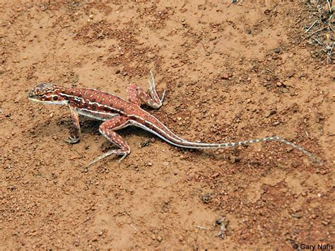 australian backyard lizards central ctenophorus isolepis