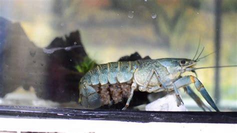 Benih Udang Lobster Air Tawar ternak lobster air tawar udang kara