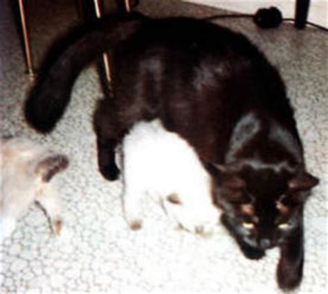 black cat doll quest mink solid ragdoll cats