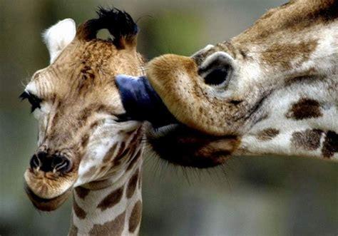 imagenes de jirafas sacando la lengua fotos de jirafas esos esbeltos animales