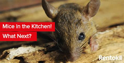 how to get rid of mice in kitchen cabinets debugged ie debugged