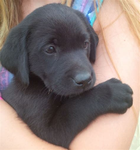 black lab puppies for sale in available now gorgeous black labrador puppy andover hshire pets4homes