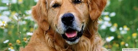 golden retriever timeline golden retriever 2 timeline cover covers myfbcovers