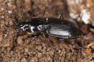 black beetle control and treatments for the home yard and garden