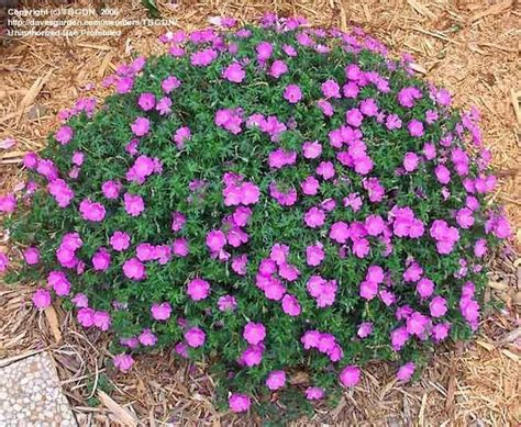 john elsley geranium hardy garden perennial bloom care