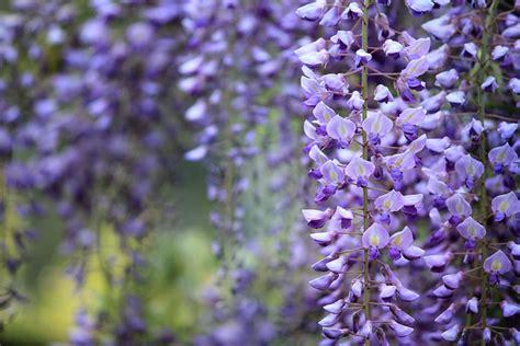 wisteria flower fun flower facts wisteria grower direct fresh cut