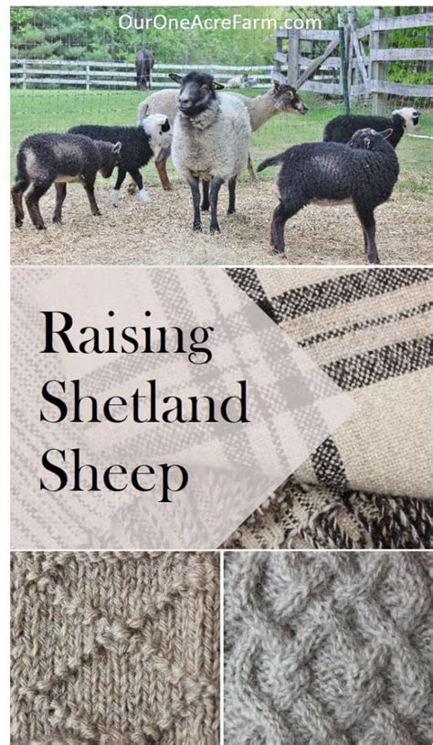 raising shetland sheep guide  starting  flock