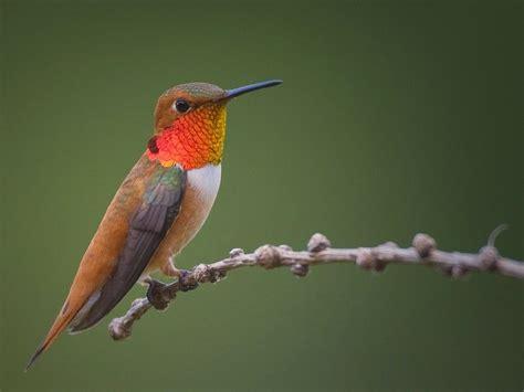 the sassiest hummingbird in north america rufous