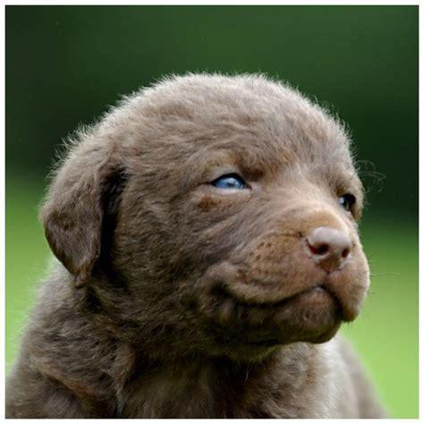 chessie puppies 1000 ideas about chesapeake bay retrievers on setters retriever