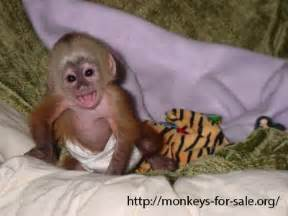 http monkeys for sale org what are the different types of monkeys readily available for sale