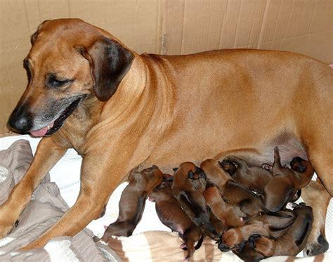 rhodesian ridgeback rhodesian ridgeback razas perros mascotas