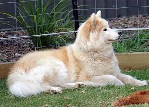 samoyed colors different colors of samoyed puppies pictures to pin on