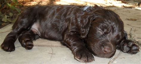 boykin spaniel puppies boykin spaniel not in the housenot in the house
