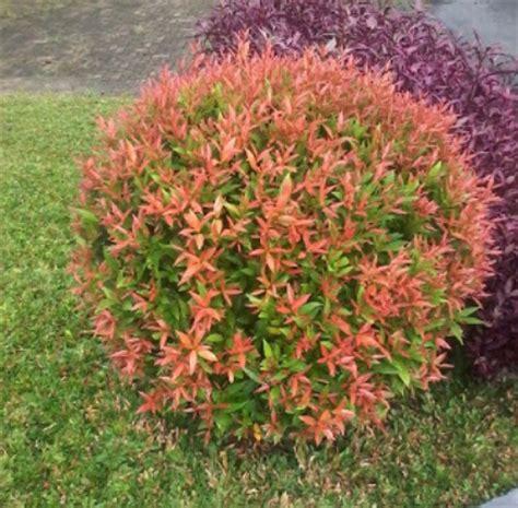 Biji Bunga Pucuk Merah benih pucuk merah