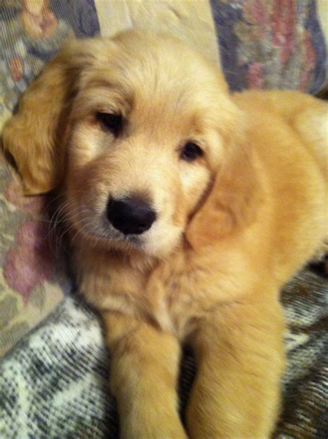 atlanta golden retriever puppies gallery of beautiful golden retrievers purebred puppies golden retrievers atlanta