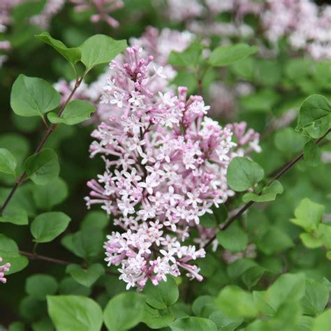 lilac flowering shrubs lilac bush shrubs bushes small trees