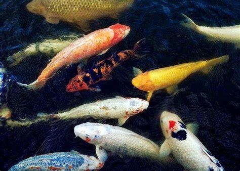 Pakan Ikan Hias Koi memelihara koi dalam kolam akuarium ikan hias
