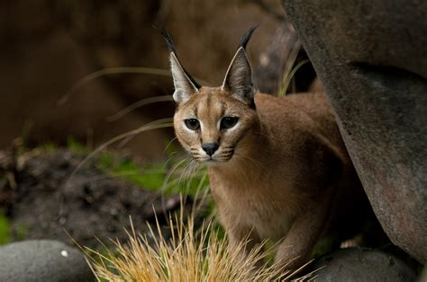 Caracal Facts, History, Useful Information and Amazing