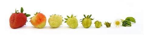 fruit ripening how to quickly ripen fruit dr douillard s lifespa