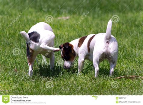 puppy pees all the time terrier on other stock photo image 56247027