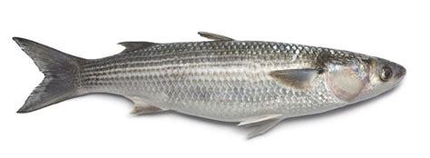 pesca al cefalo nei porti cefalo come si pesca e generalit 224 pesce