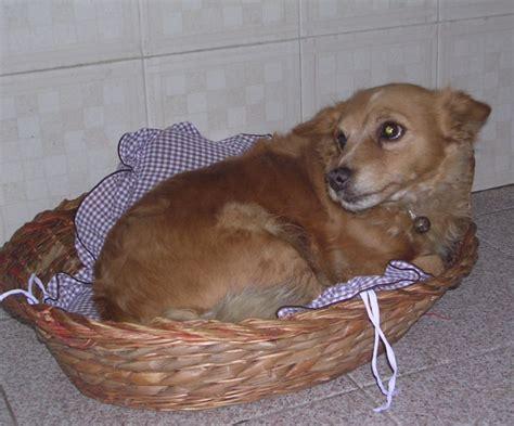 di piccola taglia per appartamento cani per appartamento piccola taglia duylinh for