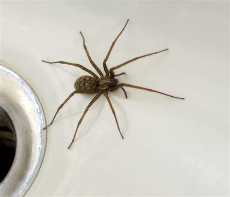 aggressive house spider common house spider photos