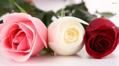 flower expert red and pink roses image white wallpaper with pink roses wallpapersafari