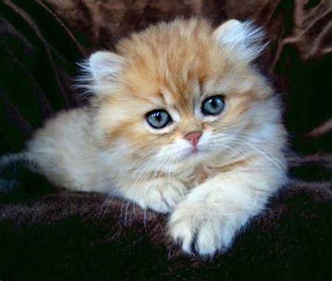 ruhige katzenrassen wohnung welche katzenrasse passt zu dir