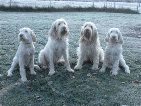 spinone italiano puppies for sale italian spinoni breeders breeds picture